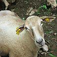 Sheared Sheep up Close