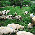 Berovo Sheep