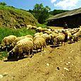 Sheep of Berovo
